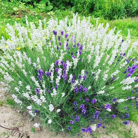 紫が混じる白ラベンダー